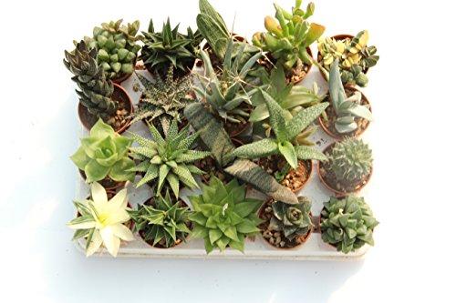 piante-grasse-vere-rare-20-piante-55-vaso-coltivazione
