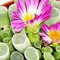Frithia pulchra - Fensterblatt - kleine Pflanze im 8,5cm Topf