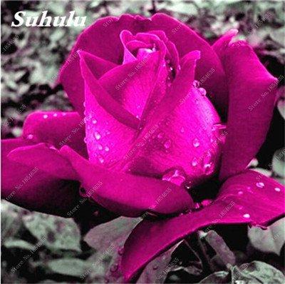 De nouvelles semences 2017! 24 Couleurs Rose Graines Plantes vivaces Rose pot de fleurs Graines cour et balcon extérieur Plant-150 Pcs 17