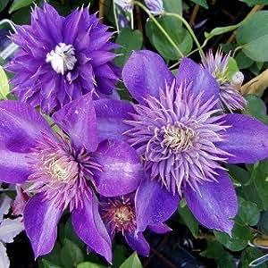 clematis 39 multi blue 39 bl hende kletterpflanze von pflanzen f r dich garten. Black Bedroom Furniture Sets. Home Design Ideas
