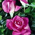 lichtnelke - Edelrose 'Lady Like' Pink Duftrose von Lichtnelke Pflanzenversand - Du und dein Garten