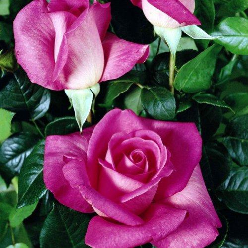 lichtnelke - Edelrose 'Lady Like' Pink Duftrose