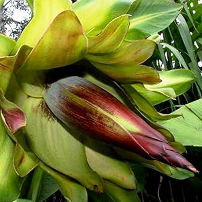 Future Exotics Ensete ventricosum Maurelii rote Abyssian Banane von Future Exotics auf Du und dein Garten