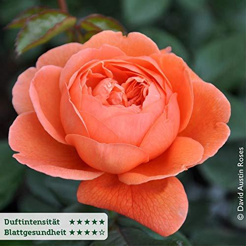 """Pflanzen-Kölle Englische Rose """"Summer Song"""" von David Austin - dunkelorange blühende, lieblich duftende Topfrose im 6 L Topf - frisch aus der Gärtnerei Gartenrose"""