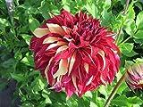 PLAT FIRM GERMINATIONSAMEN: 3pcs: Dahlia Knolle BOHEMIAN S Staude Blumenzwiebeln, Gartenpflanze Rhizom, nicht Samen!