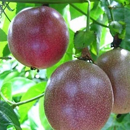 TOPmountain graines de Fruits de la Passion 10 pcs Granadilla Pourpre Jardinage à la Maison