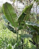 SANHOC Graines Paquet: - Musa Helens Hybride 10 graines