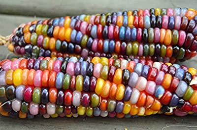 VEGETABLE GLASS GEM CORN 20 SEEDS (ORGANIC) : everything five pounds (or less!)