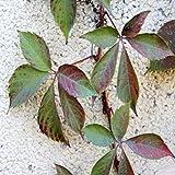 Loveble Parthenocissus Tricuspidata Samen,Schnell wachsend Rebe Wanddekoration