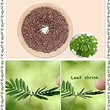 Wekold Mimose Bonsai Indoor Pflanze - 30 Samen Schüchterne Grassamen Mimosa Pudica Empfindliche Pflanzensamen Bonsai Garten