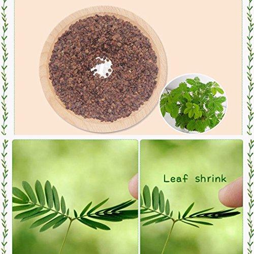 Wekold Mimose Bonsai Indoor Pflanze - 30 Samen...