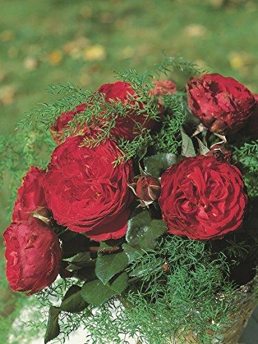 Romantica Rose Traviata im 5 Liter Rosentopf (Romantica Rosen)