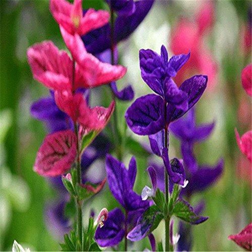 hogar perfumado 100 mixto de alta salvia semillas Scarlet Sage Salvia splendens...