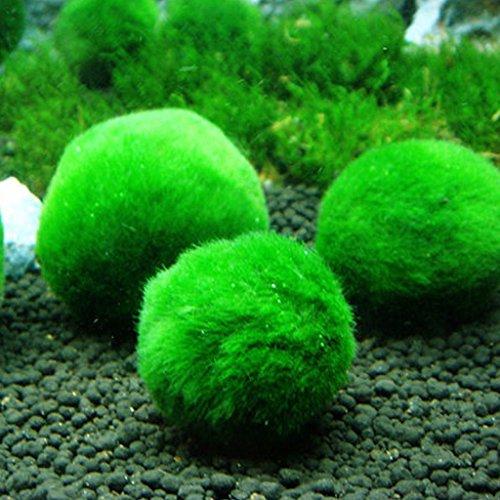 Qiman - Palline Marimo Moss - Esteticamente belle, creano un ambiente sano, ecologico, di facile manutenzione e frena la crescita delle alghe. I gamberetti e le lumache le adorano.