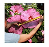 25x Riesen F1 Blüten Hibiskus Hibiscus Moscheutos Samen Garten #282