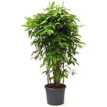 Zimmerpflanzen Für Schatten suchergebnis auf amazon de für grosse zimmerpflanzen