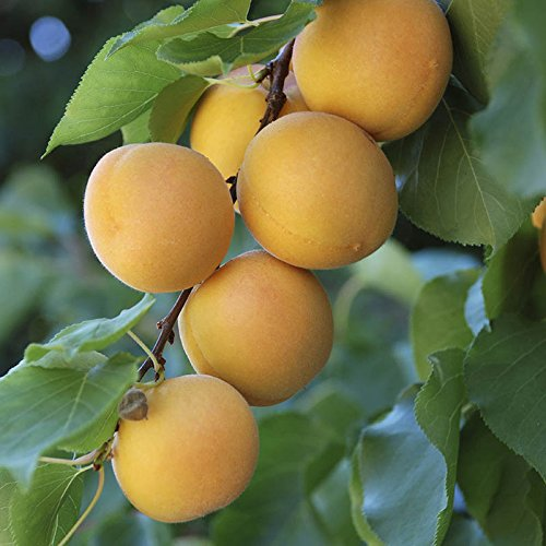 apricot-aprigold-patio-fruit-tree-in-a-75l-pot