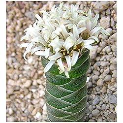 Crassula columnaris - Buddhas Tempel - 10 Samen
