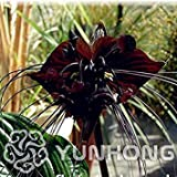 Seeds: * 10pcs seltene Schwarze Fledermaus Blume Fledermausblume Cat & # 39; s Whiskers il Blumen Bonsai Blumen Bonsai New Arrl! : 5
