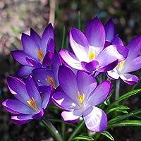 100semillas de Crocus sativus para jardín, arbustos, de Mark8shop