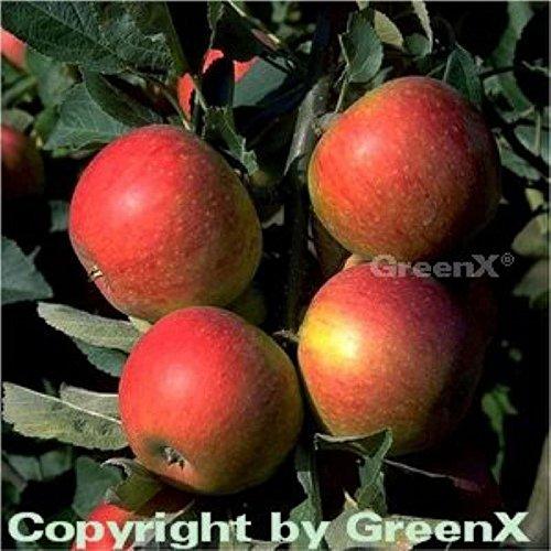 Apfelbaum Alkmene 60-80cm – fest und süß