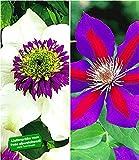BALDUR-Garten Clematis Waldreben Raritäten-Sortiment 'Florida Sieboldii' und 'Etoile de Malicorne' winterhart, 2 Pflanzen Klematis mehrjährige blühende Kletterpflanzen