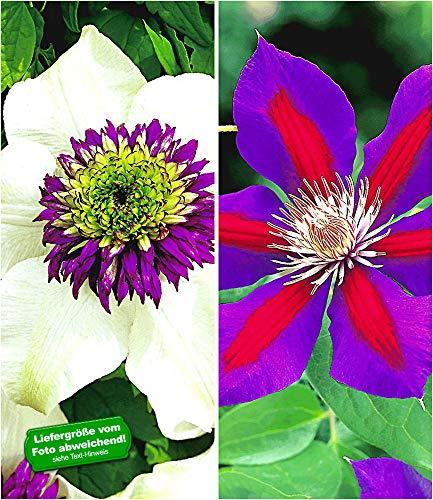 BALDUR-Garten Clematis Waldreben Raritäten-Sortiment 'Florida Sieboldii' und 'Etoile de Malicorne' winterhart, 2 Pflanzen Klematis mehrjährige blühende Kletterpflanzen -
