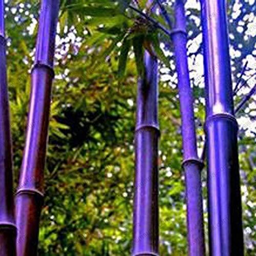 Shopmeeko 30 pezzi/lottp gambo pianta bonsai phyllostachys nigra perenne nero rosso piante di bambù giapponese giardino decorazione bonsai sement: grigio chiaro