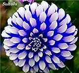 100 Pcs charme chinois Dahlia fleur Graines Bonsai Fleurs Dahlia lumineux mixte chinois Pivoine jardin Décor Plantes 24 Potted