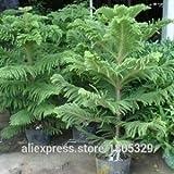 50Araucaria Samen Outdoor Pflanzen Erfrischende Bonsai Samen Blattwerk Pflanzen Baum Samen Shown In Desc dunkles kaki
