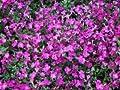 Blaukissen 'Red Carpet' - Aubrieta 'Red Carpet' - Staude von Native Plants von Native Plants bei Du und dein Garten