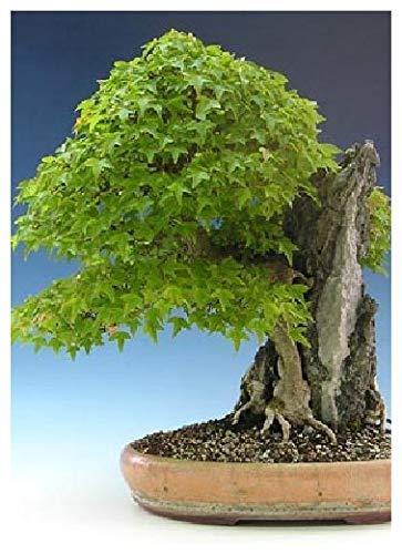 TROPICA - Acero tridente (Acer buergerianum) - 30 Semi- Bonsai