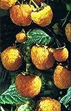 Himbeere - Rubus idaeus - Golden Queen - ertragreiche Herbsthimbeere, große Früchte