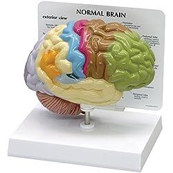 GPI Anatomicals Modelo de medio cerebro