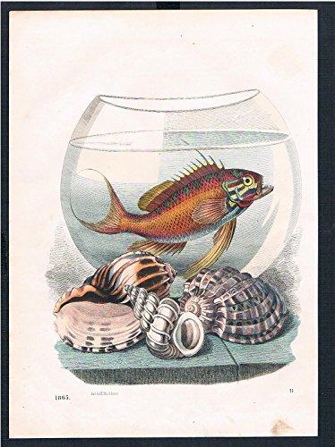 Fischglas Fisch Glas fish Muscheln shells Original Druck print