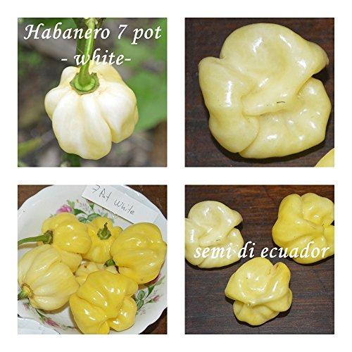 Galleria fotografica Habanero 7 pot -20 semi / variante:bianco - !!! + 5-8 semi di una varietà di peperoncino - !!!