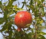 Punica granatum echter Granatapfel Baum Grenadine essbare Früchte Pflanze 10cm