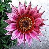 SwansGreen 9: 100 Stück Rare Gerbera Samen Bonsai Topfpflanze Blumensamen Familiengarten Mischfarben Perennial Chrysanthemum leicht zu züchten 9