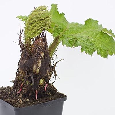 Inter Flower - Mammutblatt, Gunnera manicata Höhe 22cm+/- von Inter Flowers GmbH bei Du und dein Garten