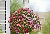Flower Seeds : Verbena Ideal Florist Mixed Flower Seeds – Kitchen Garden Pack by Creative Farmer