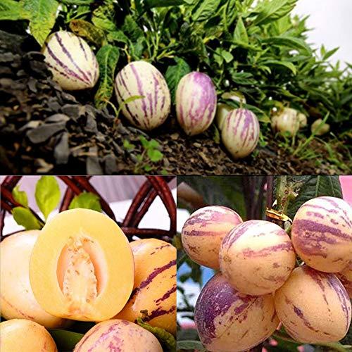 Exotische Pepino Melonenbirne Samen 100Pcs, Mini Solanum Muricatum Fruchtsamen, Bio Obst & Gemüse Saatgut für Hängender Obsttopf Bonsai Garten Balkon Terrasse Ertragreich Aromatisch