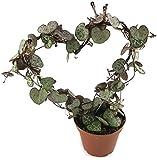 Ceropegia woodii Leuchterblume - sehr pflegeleichte, hängende Zimmerpflanze - verschönern Sie Ihr zu Hause - Miniaturpflanze am Spalier