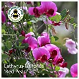 Lathyrus latifolius 'Red Pearl' Seeds. Red Perennial Sweet Peas RHS AGM