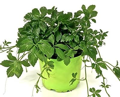 Jiaogulan Gynostemma pentaphyllum, aus 1.Generation volle Wirkung! Kraut der Unsterblichkeit von Weseler Kräuterparadies - Du und dein Garten