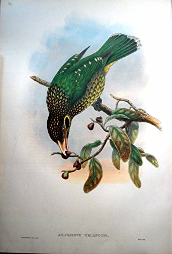 Gould Vogel-prints (Drucken Sie Schwarzen Melanotis-MannesVogel Cheeked-Katzen-Vogel-Johns Gould Ailuroedus)