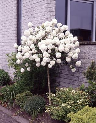 Schneeball Eskimo® zum Stämmchen gezogen weiß blühend, 1 Pflanze von Amazon.de Pflanzenservice auf Du und dein Garten
