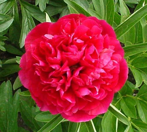 Paeonia officinalis 'Rosea Plena' - 1 Pflanze im 2 lt. Rundtopf