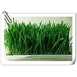100 semillas / tasa de germinación pak Orgánica de hierba de trigo semilla de 99% de ollas y jardineras familias de jardín
