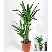 suchergebnis auf f r palmlilie garten yucca. Black Bedroom Furniture Sets. Home Design Ideas