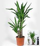 BALDUR-Garten Yucca Palme ca. 70 cm hoch,1 Pflanze